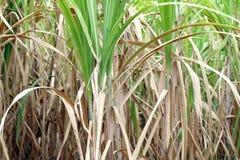 甘蔗树,甘蔗种植园为背景,树藤茎领域甘蔗背景种田 免版税库存照片