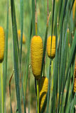甘蔗植物 库存图片