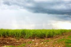 甘蔗种植园在多云天空下 库存照片