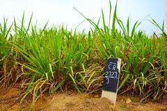甘蔗种植园在多云天空下 免版税库存图片