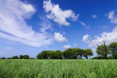 甘蔗种植园在毛里求斯海岛 库存图片