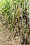 甘蔗种植自然背景 库存图片