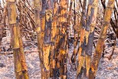 甘蔗领域燃烧 库存照片