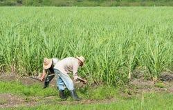 甘蔗领域的古巴领域农夫在圣克拉拉古巴- Serie古巴报告文学的收获期间 库存照片