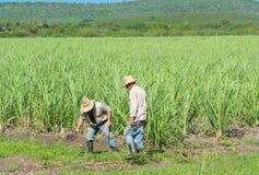 甘蔗领域的古巴领域农夫在圣克拉拉古巴- Serie古巴报告文学的收获期间 免版税库存照片