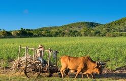 甘蔗领域的古巴领域农夫在他的在西恩富戈斯古巴- Serie古巴报告的黄牛无盖货车 免版税库存照片