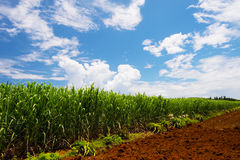 甘蔗领域蔗糖officinarum 库存照片