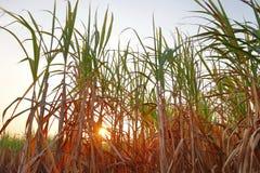 甘蔗领域 图库摄影