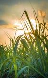 甘蔗领域 免版税库存图片