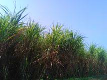 甘蔗 免版税库存照片