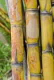 甘蔗 免版税库存图片