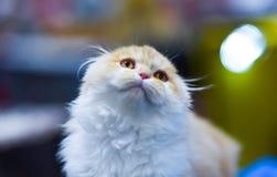 甜全部赌注神色,特写镜头面孔 小猫路运行白色 免版税库存照片