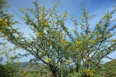 甜刺,金合欢南非洲的干燥台地高原 图库摄影