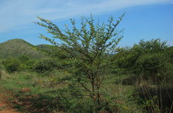 甜刺,金合欢南非洲的干燥台地高原 库存图片