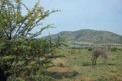 甜刺,金合欢南非洲的干燥台地高原 免版税库存图片