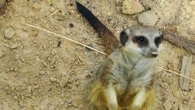 甜动物Meerkat 影视素材