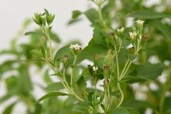 甜叶菊& x28; 甜叶菊rebaudiana & x28; Bertoni& x29;Bertoni& x29;树 免版税库存照片