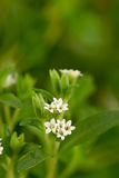 甜叶菊& x28; 甜叶菊rebaudiana & x28; Bertoni& x29;Bertoni& x29;树 免版税图库摄影