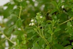 甜叶菊& x28; 甜叶菊rebaudiana & x28; Bertoni& x29;Bertoni& x29;树 图库摄影