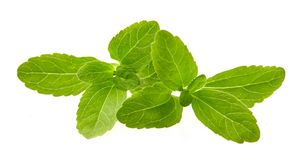 甜叶菊rebaudiana,在白色隔绝的美好的叶子糖替补 免版税库存图片