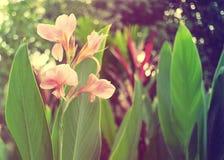 甜和软的花Canna印度在葡萄酒颜色 库存照片