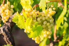 甜和鲜美生物葡萄在葡萄园里 库存图片