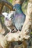 甜夫妇鸽子 图库摄影