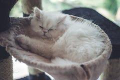 甜婴孩白色猫睡眠 免版税库存照片