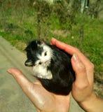 甜小猫在手上 免版税库存照片