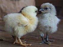 甜微小的鸡 库存图片