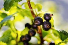 甜新鲜的黑醋栗分支在庭院里 黑色当前 免版税库存图片