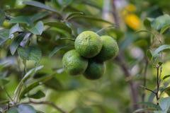 甜柠檬在绿色庭院里 免版税库存图片