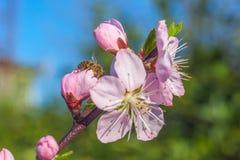 甜桃子在早期的春天,蜂食物开花 库存图片