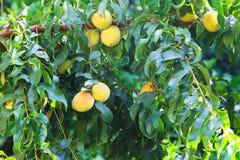 甜桃子果树栽培在桃树分支 库存图片