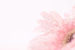 甜桃红色大丁草花关闭和选择聚焦与 库存图片