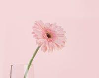 甜桃红色大丁草花,罗马关闭和选择聚焦  库存图片