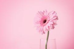 甜桃红色大丁草花,罗马关闭和选择聚焦  免版税库存图片
