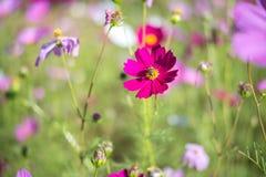 甜桃红色波斯菊在领域背景中开花与蜂 免版税图库摄影