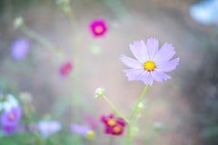 甜桃红色波斯菊在领域背景中开花与蜂 库存照片
