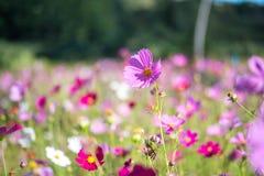 甜桃红色波斯菊在领域背景中开花 免版税库存照片