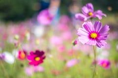 甜桃红色波斯菊在领域背景中开花 图库摄影