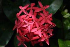 甜桃红色热带花 库存图片