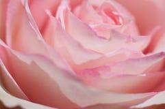 甜桃红色玫瑰宏观照片  软的图象,选择聚焦 浪漫背景 图库摄影
