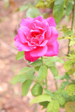 甜桃红色玫瑰,葡萄酒 库存照片