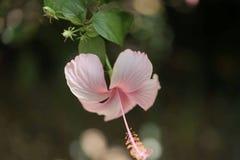 甜桃红色花,泰国 库存照片