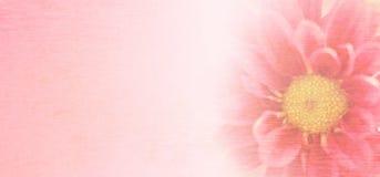甜桃红色菊花在与桑树纸纹理的软和被弄脏的样式开花 免版税库存照片