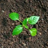 甜椒胡椒幼木,在一张菜园床上的年幼植物 免版税图库摄影