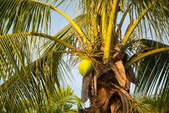 甜椰子树用绿色椰子 图库摄影