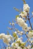 甜樱桃开花 库存照片