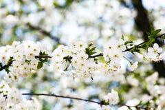 甜樱桃白色绽放  免版税库存照片